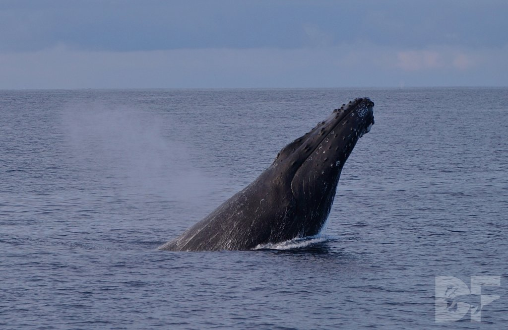 Humpback Female Seeks Strong Male