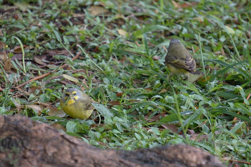 Yellow Fronted Canaries