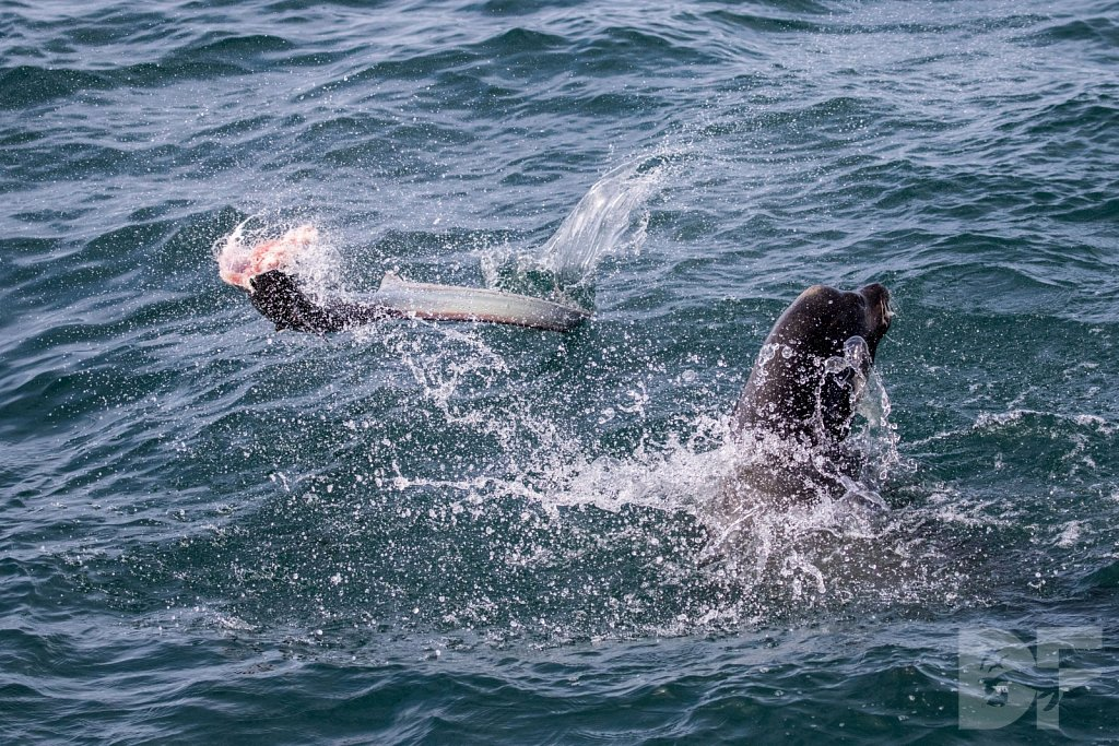 Sea Lion Shark Slaughter 2016 II