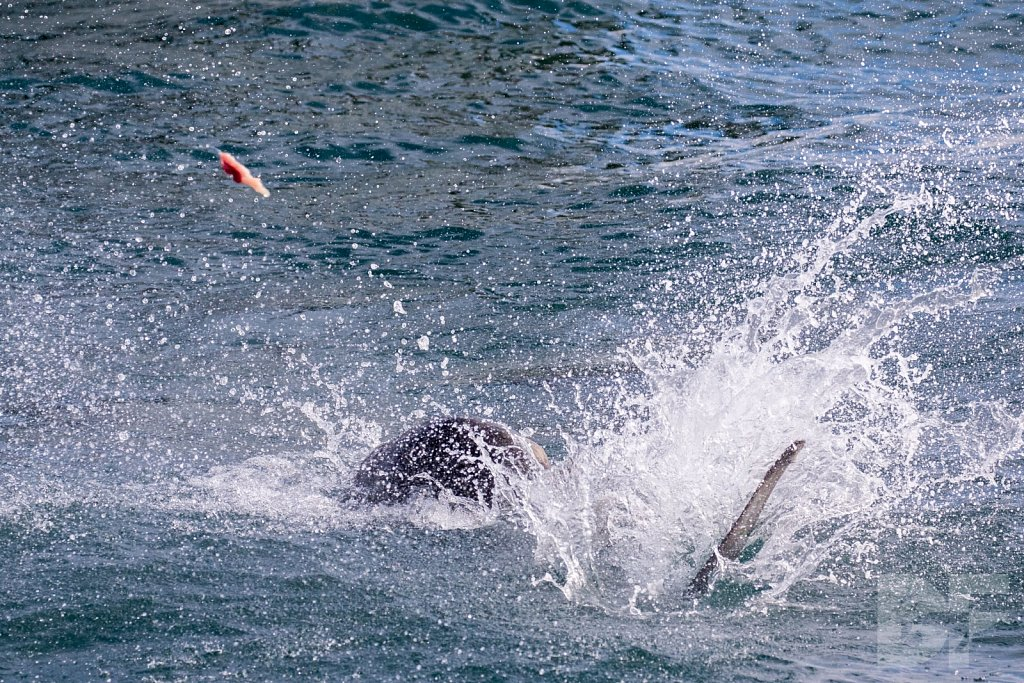 Sea Lion Shark Slaughter 2016 VII