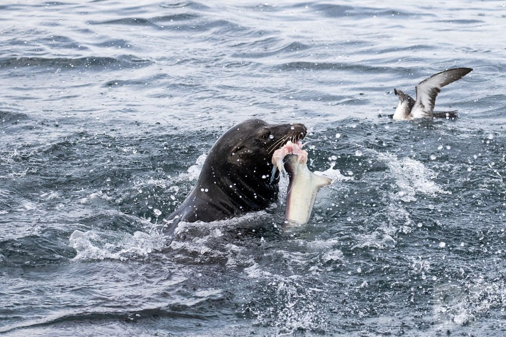 Sea Lion Shark Slaughter 2016 XIII