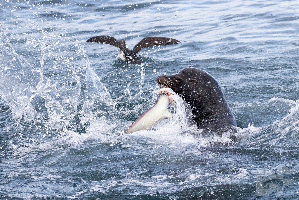 Sea Lion Shark Slaughter 2016 XV