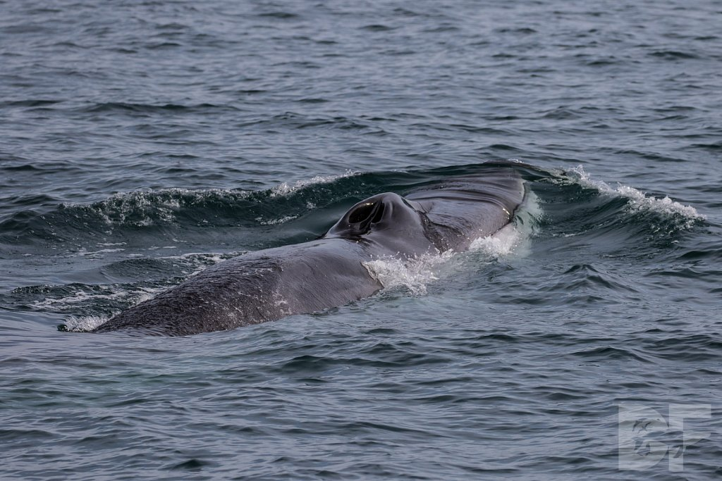 Fin Whale For Sure II