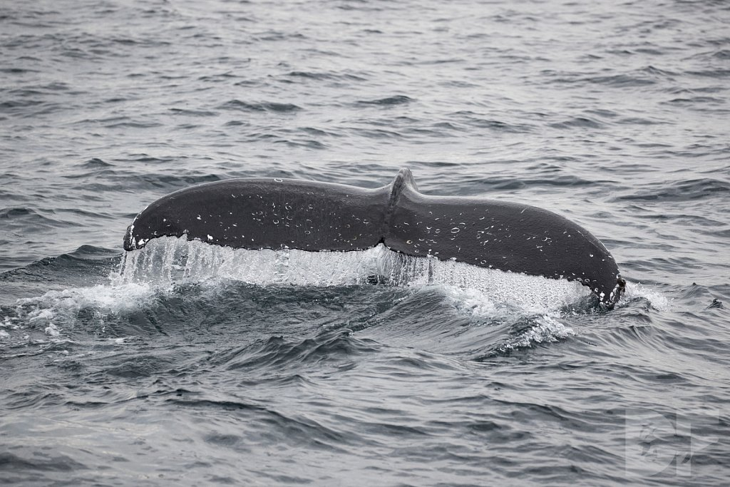The Odd Couple of Whales VIII