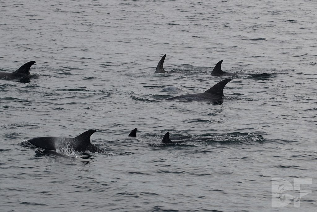 Different Dolphins I