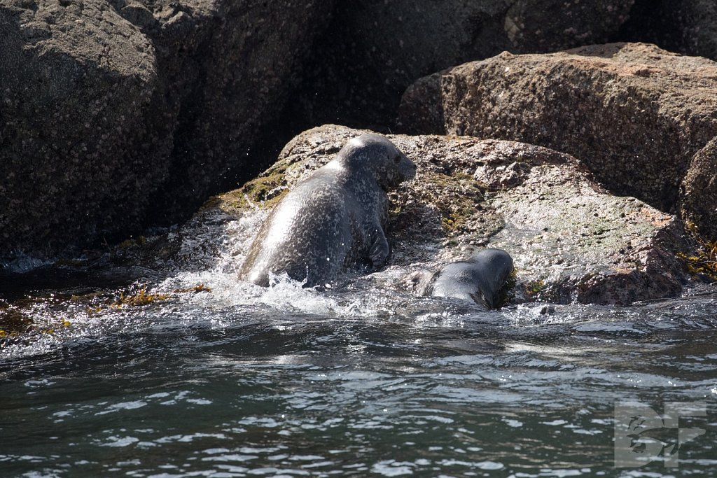 Harbor Seal Haven I