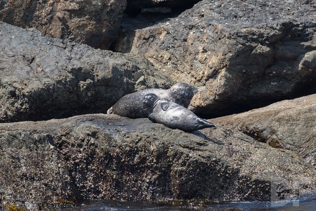 Harbor Seal Haven V