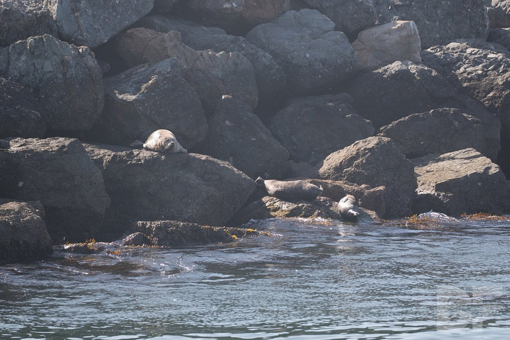 Harbor Seal Haven VI