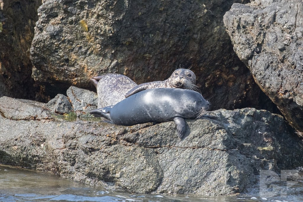 Harbor Seal Haven VII