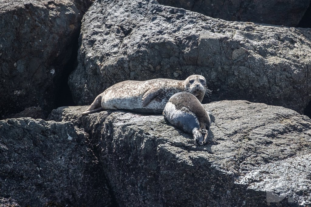 Harbor Seal Haven X
