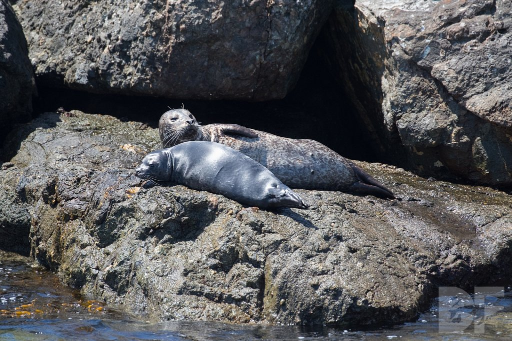 Harbor Seal Haven XII