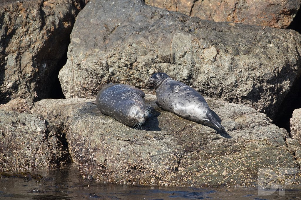 Harbor Seal Haven XV