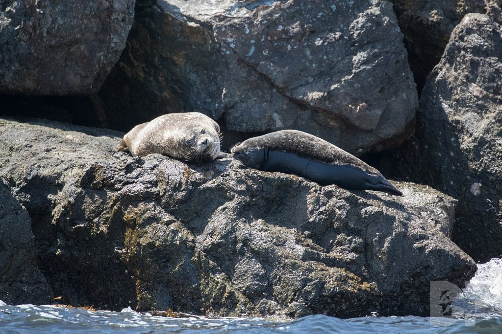 Harbor Seal Haven XVI