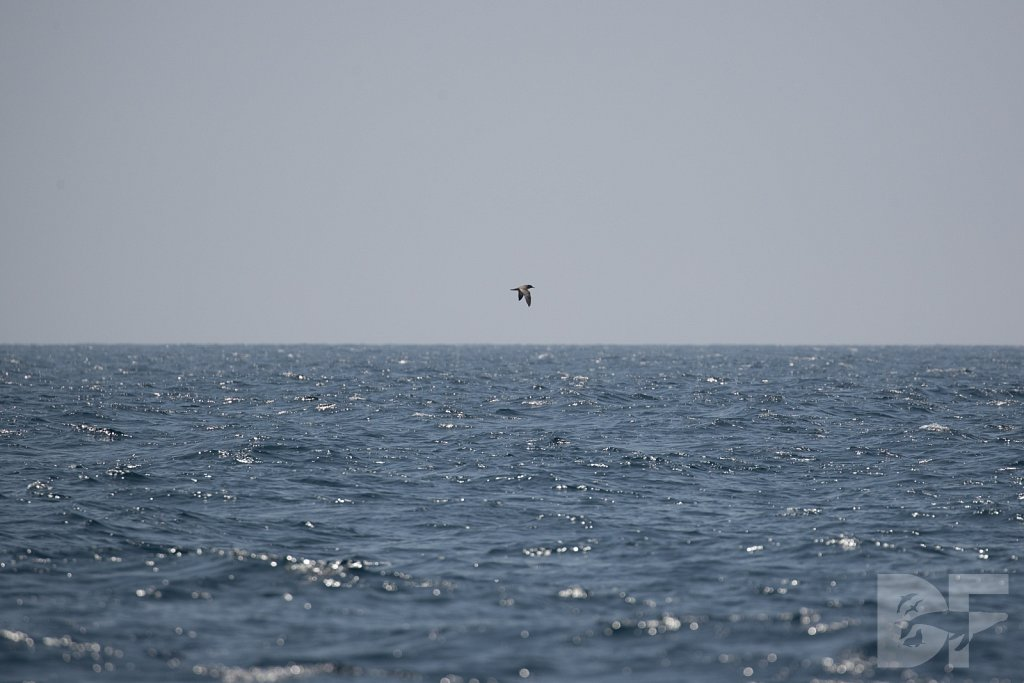 Pink Footed Shearwater