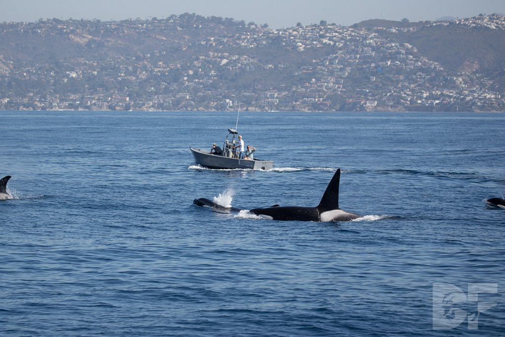 Orcas in October IV