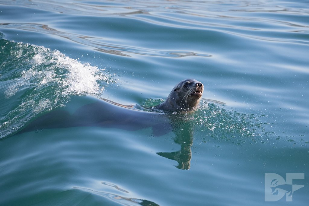 Surfin' Sea Lion I