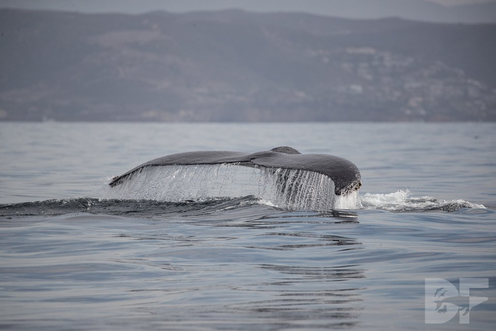 Winter's Winged Whales I