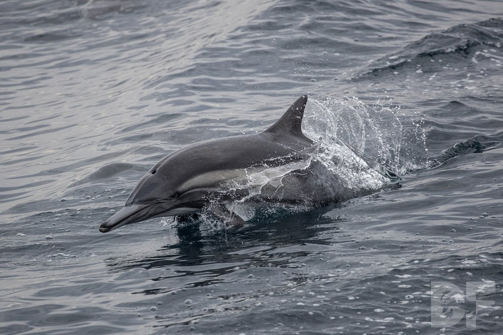 Dolphin Strong VII