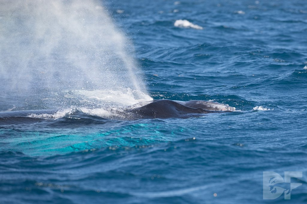 Humpbacks of the Silver Bank LXV