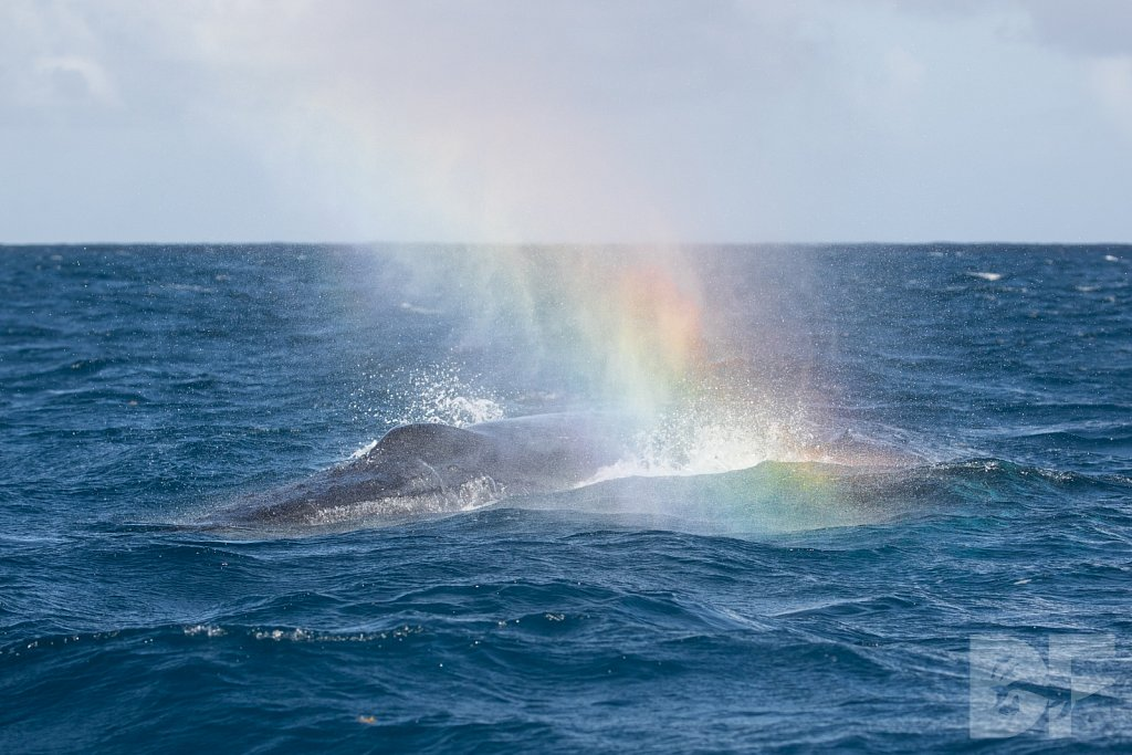 Humpbacks of the Silver Bank LXXVII
