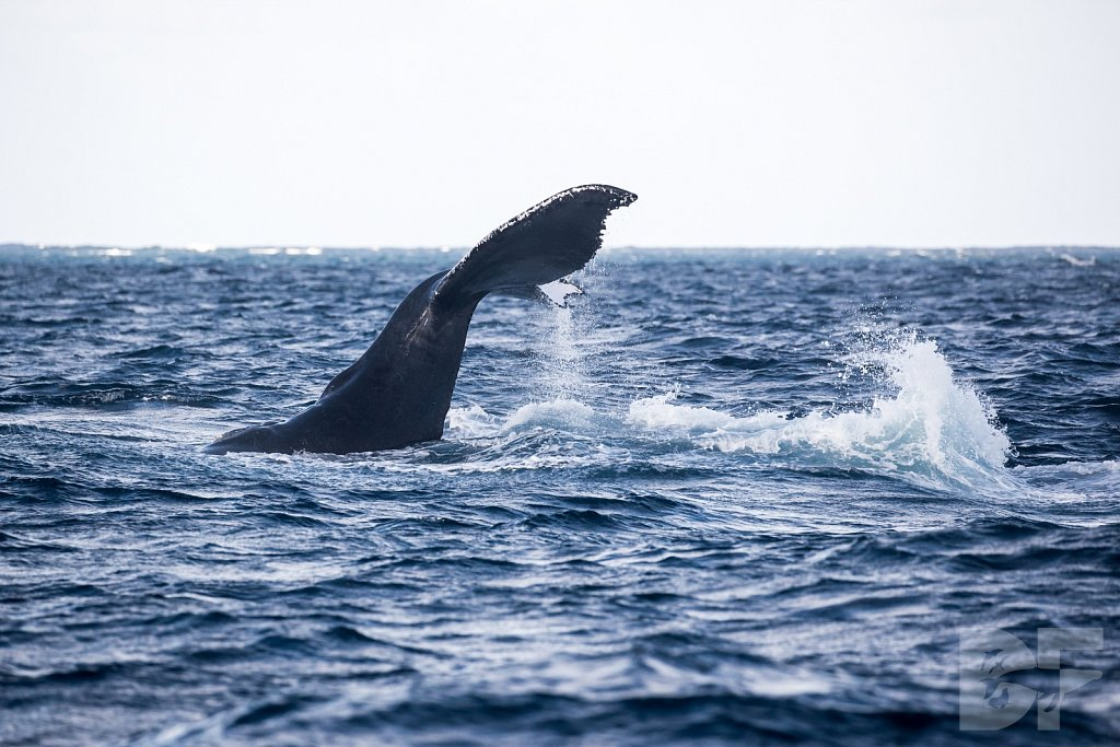 Humpbacks of the Silver Bank LXXVIII
