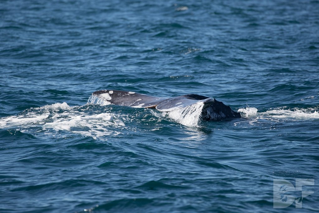 Gray Whale Grand Tour II