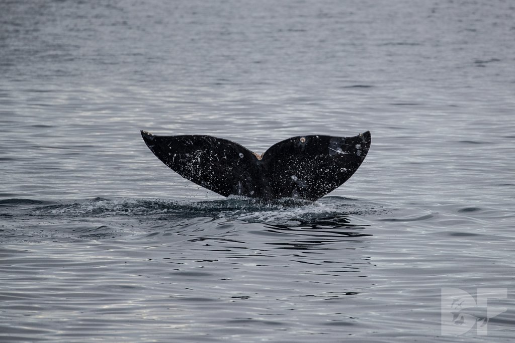 Gray Whale Grand Tour IV