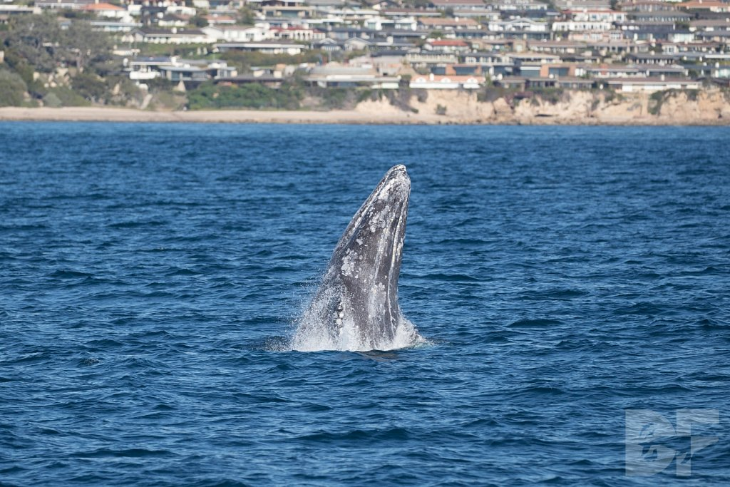 Gray Whale Grand Tour IX