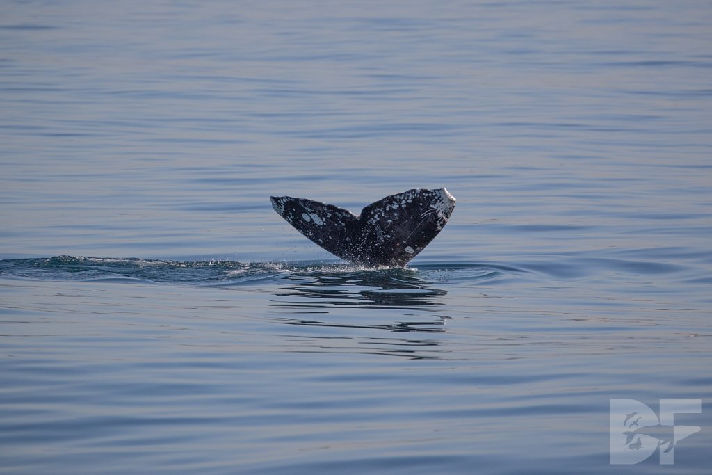 Gray Whale Grand Tour XII