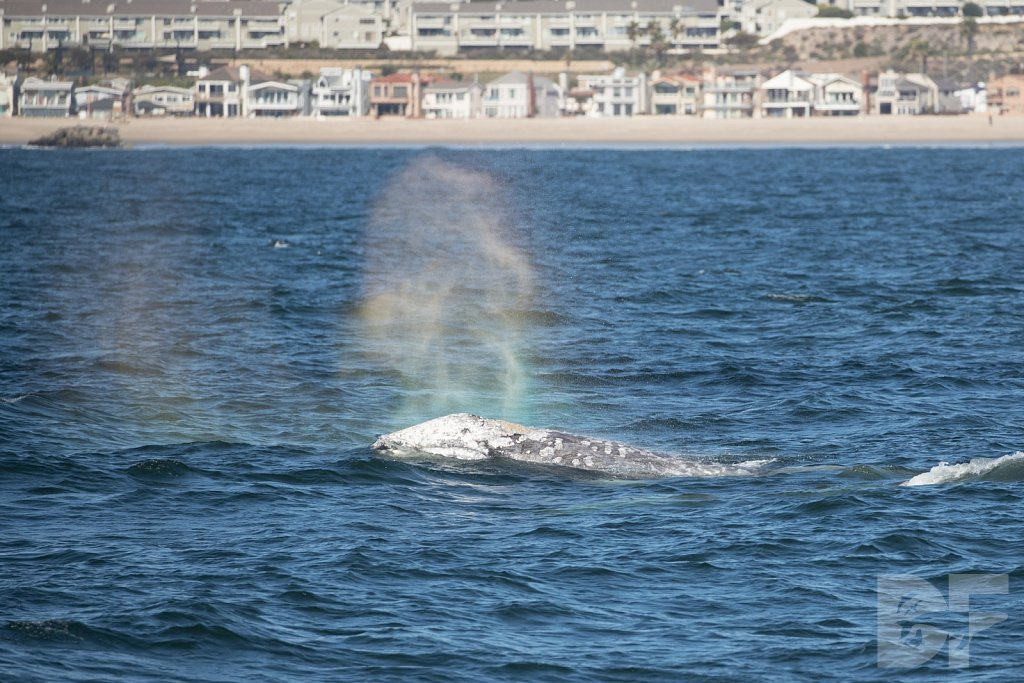 Way of the Gray Whale XI