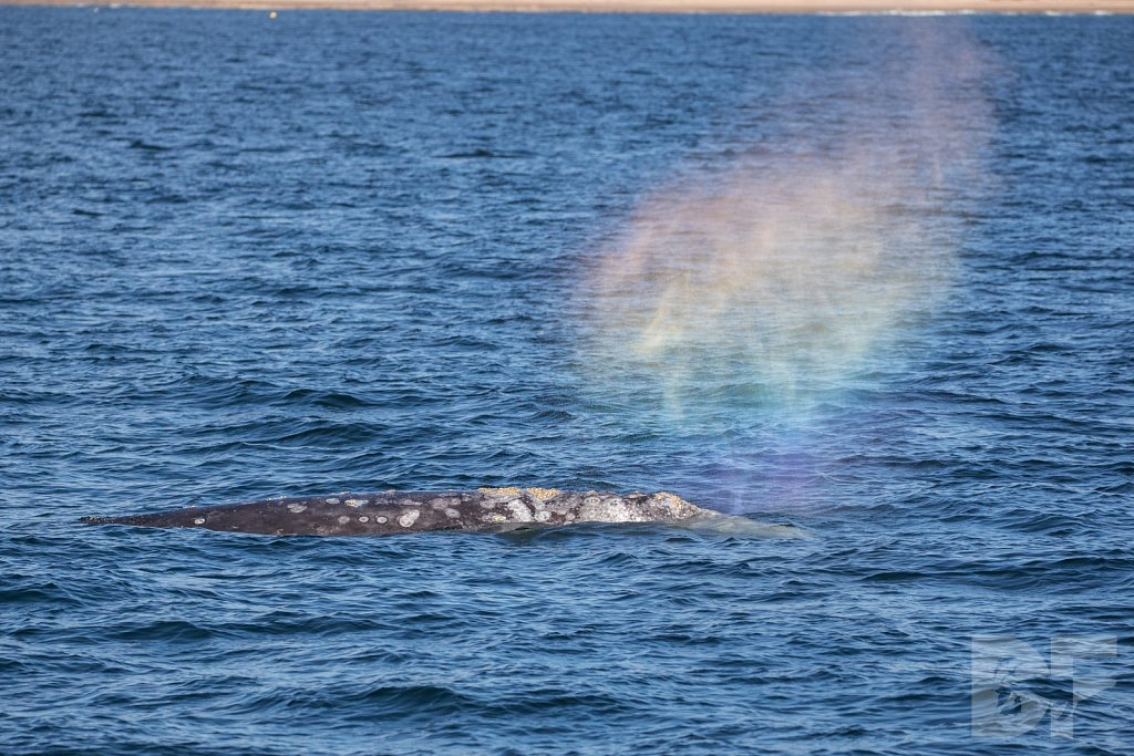 Way of the Gray Whale XVIII