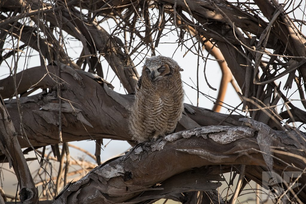 Great Horned of Huntington I