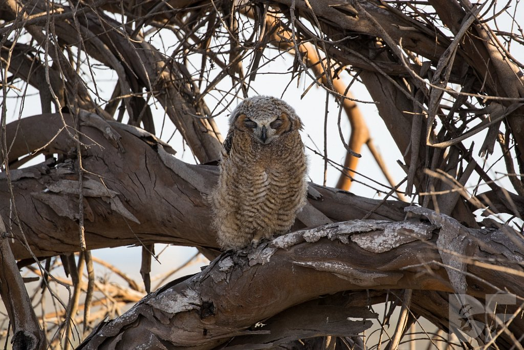 Great Horned of Huntington II