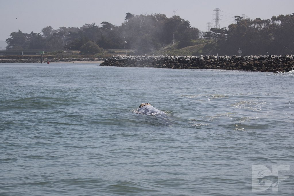 Monterey Day Trip:  Gray Whale I