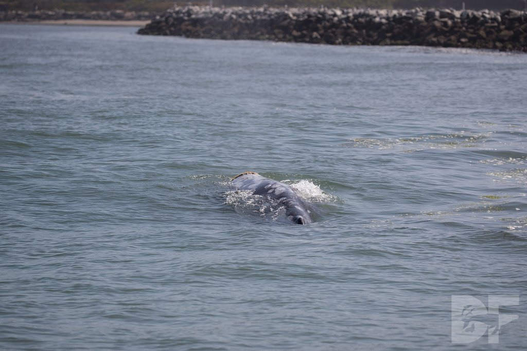 Monterey Day Trip:  Gray Whale II