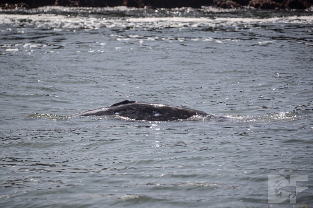 Monterey Day Trip:  Gray Whale IV