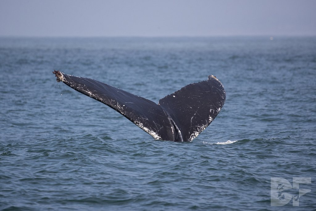 Monterey Day Trip: Humpbacks III