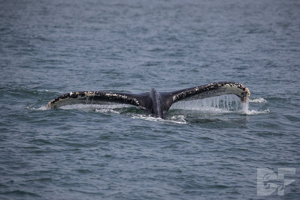 Monterey Day Trip: Humpbacks IV