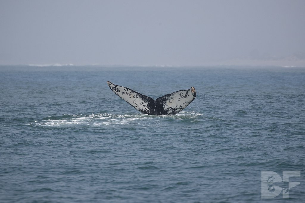 Monterey Day Trip: Humpbacks VIII