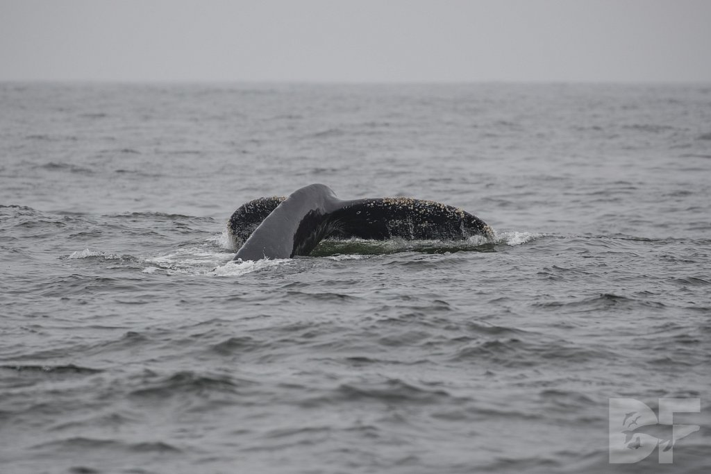 Monterey Day Trip: Humpbacks XII