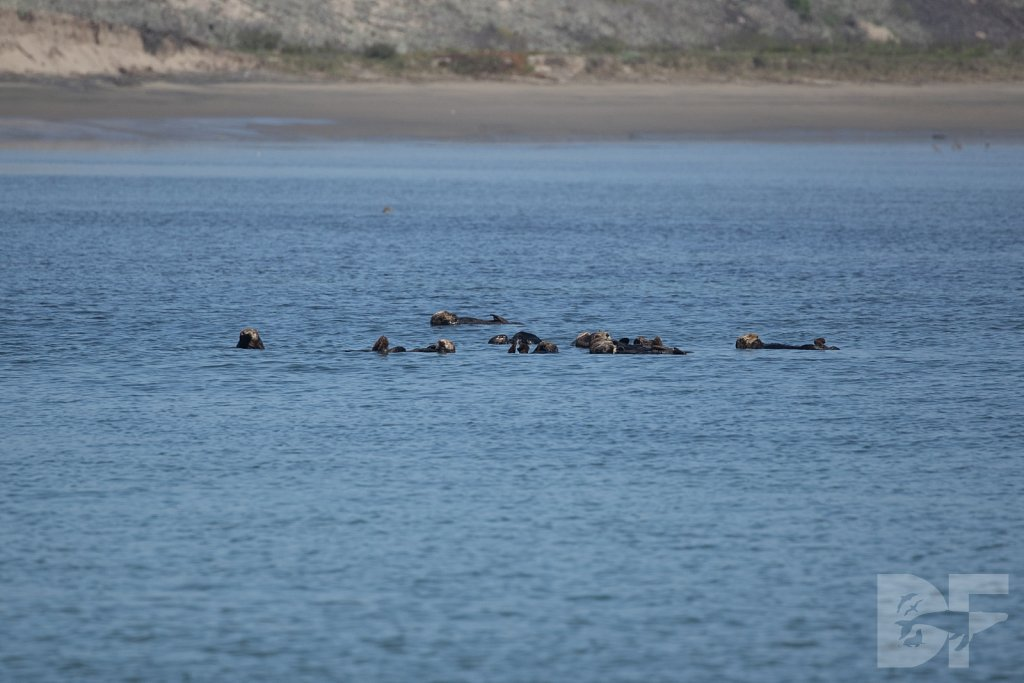 Monterey Day Trip:  Otters II