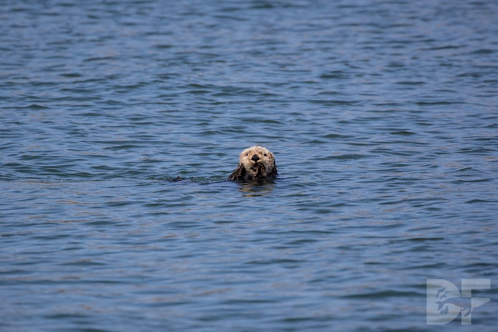 Monterey Day Trip:  Otters IV