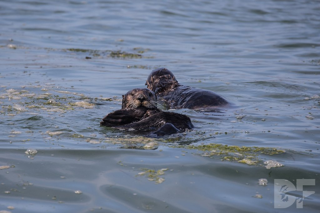 Monterey Day Trip:  Otters V