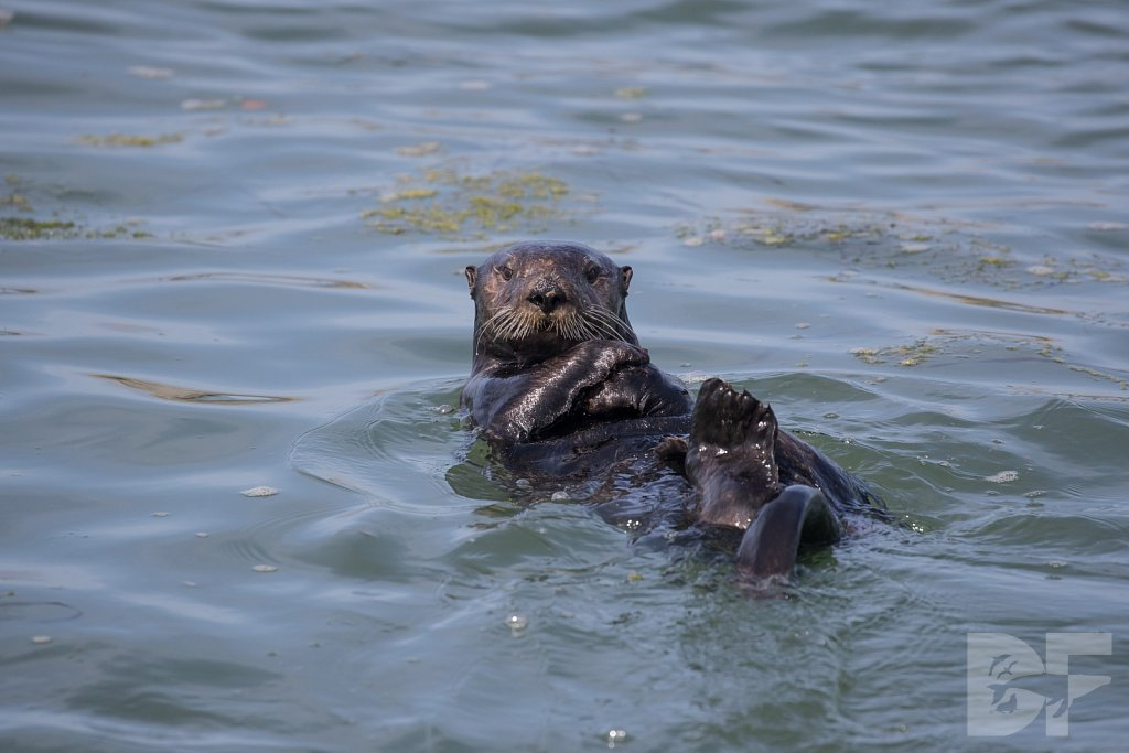 Monterey Day Trip:  Otters VII