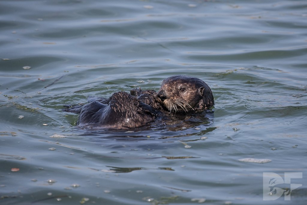 Monterey Day Trip:  Otters VIII