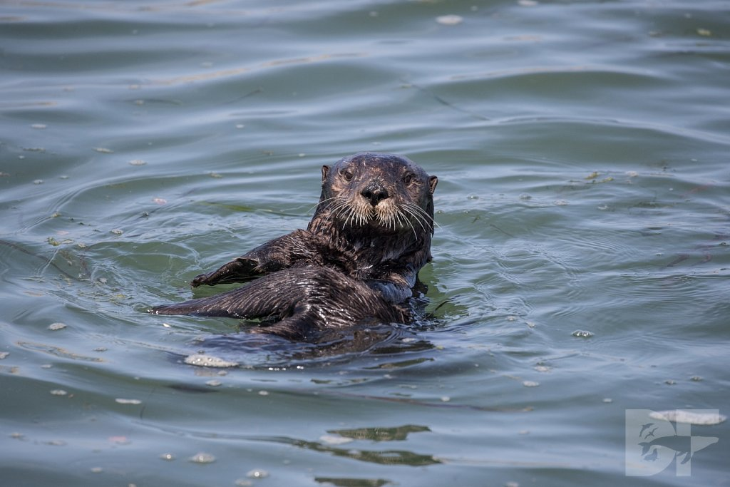 Monterey Day Trip:  Otters IX