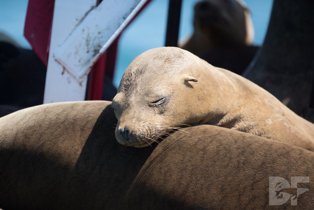 Restful Sea Lions II