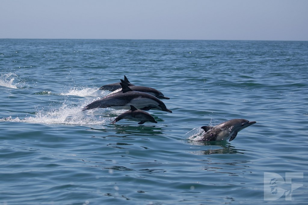 Common Dolphin Good I
