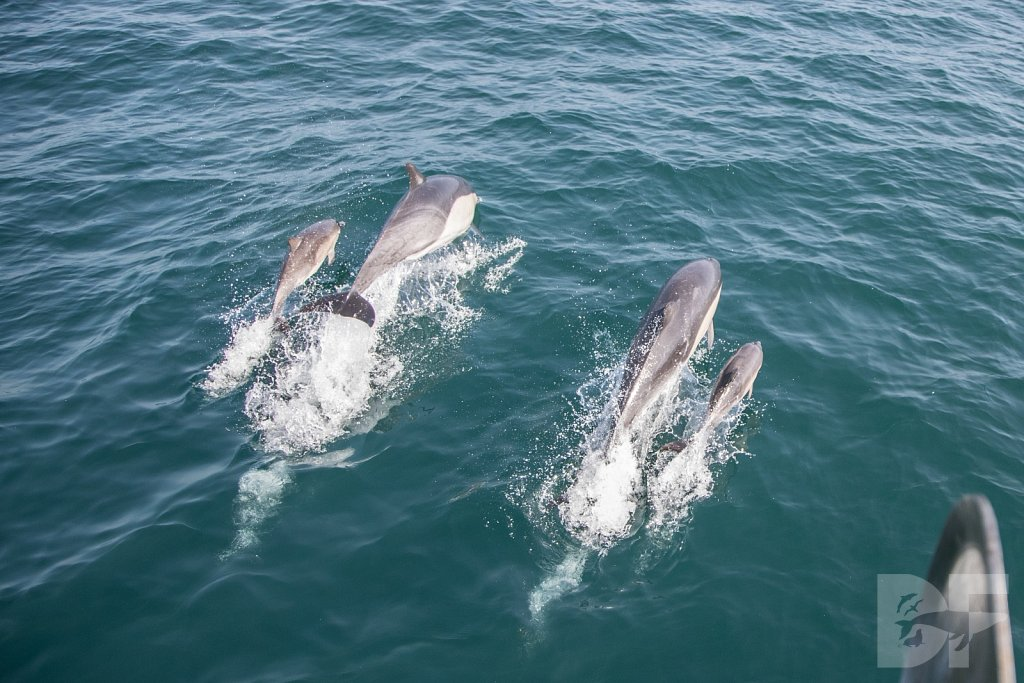 Common Dolphin Good III