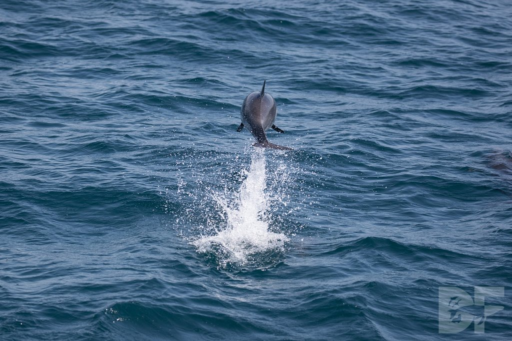 Common Dolphin Good XI